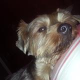 Becquer (Yorkshire Terrier)