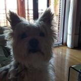 Chispi - Yorkshire Terrier