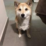 Tsuki (Shiba)