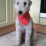 Bentley (Bedlington Terrier)