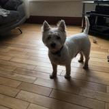 Wilf - West Highland White Terrier