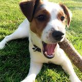 Monty (Jack Russell Terrier)