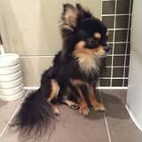 Odin (Chihuahua)