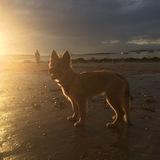 Ombre (German Shepherd Dog)