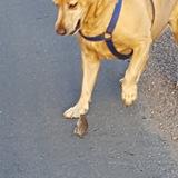 Ellie (Labrador Retriever)