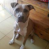 Nala - American Staffordshire Terrier