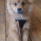Chris (German Spitz)