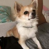 Maya (Chihuahua)