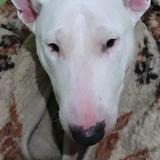 Yury (Bull Terrier)