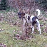 Charly (Dänisch Schwedischer Farmhund)