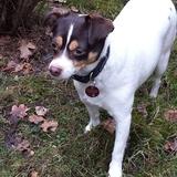 Perle (Dänisch Schwedischer Farmhund)