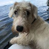 Friedbarth  (Sealyham Terrier)