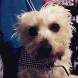 Camilo (Terrier Sedoso Australiano)