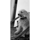 Lola (Caniche)