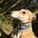 Sully (Greyhound)