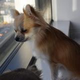 Zara (Chihuahua)
