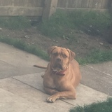 Coco (French Mastiff)