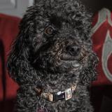 Poppy  (Poodle Miniature)