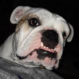 Marisa (English Bulldog)