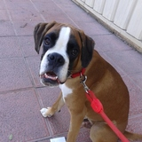 Gio (Boxer)