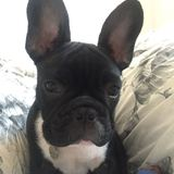 "Ernest ""Ernie"" Van Barkston - French Bulldog"
