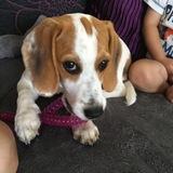 Beau (Beagle)