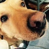 Phillip (Labrador Retriever)