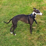 Lucy (Whippet)