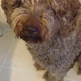Nala - Perro de Agua Español