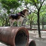 Tras - Beagle