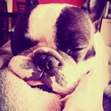 Mia (Bulldog Francés)