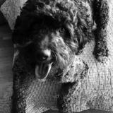 Marley - Perro De Agua Portugués