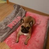 Nina - Bulldog Francés