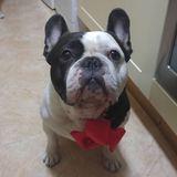 trasto - Bulldog Francés