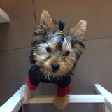 Coco (Yorkshire Terrier)