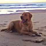 Tango - Labrador Retriever