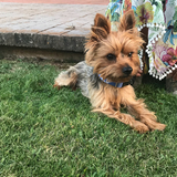 Teo - Yorkshire Terrier