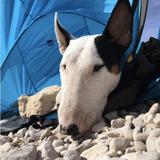Gala (Bull Terrier)