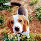 Hércules - Beagle