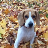 Summer - Beagle